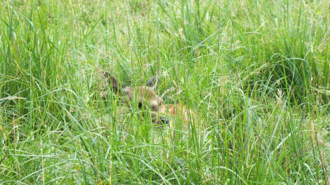 Wildgehege Moritzburg Reh im Gras