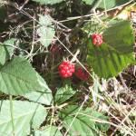 Wildgatter Oberrabenstein - rote Brombeeren