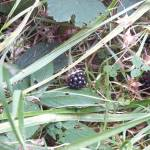Wildgatter Oberrabenstein - schwarze Brombeeren